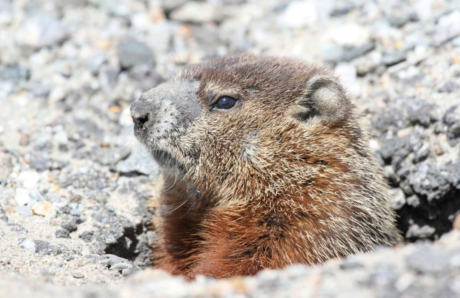 Groundhog poking head out of the ground